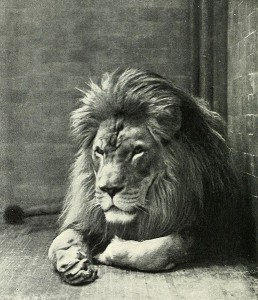 Sultan the Barbary Lion at New York Zoo.